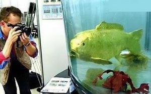 ikan unik, ikan emas di taiwan, menghebohkan